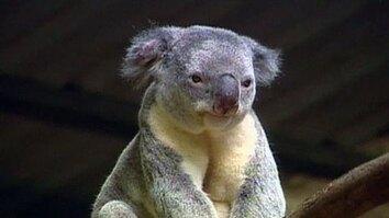 Koalas Saved