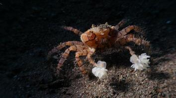 "Watch These Crabs Tear Their Living ""Pom-Poms"" to Shreds"