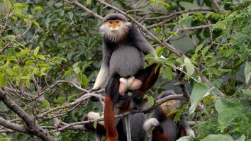 This endangered monkey is one of the world's most colorful primates