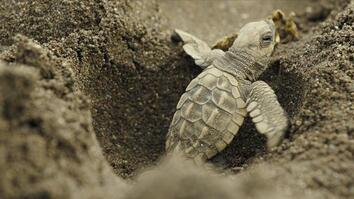 Baby sea turtles risk it all in treacherous scramble to the sea