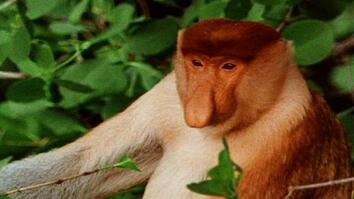 World's Weirdest: Proboscis Monkeys