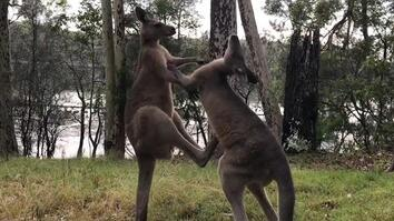 Watch a Sparring Match Between Two Rescued Kangaroos