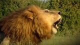 Cause an Uproar - Lions