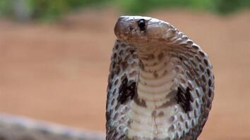 The King Cobra's Venom Could Save Your Life