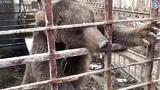 See a Bear Freed From a Cage to Begin a New Life