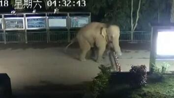 Asian Elephant Sneaks Across Laos-China Border