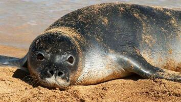 Crittercams Investigate Seal Mystery