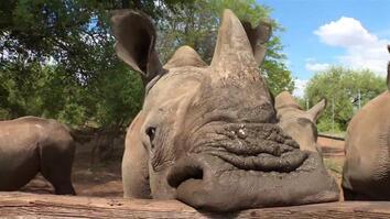 Can You Save Rhinos By Selling Their Horns?
