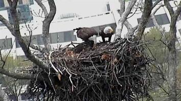 Bald Eagle Webcam Feeding