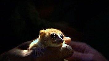 The Smallest Lemur