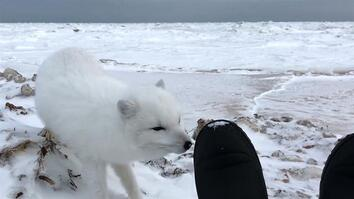 Come Face-to-Face With an Adorable Arctic Fox