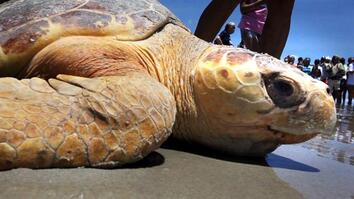 Crowd Cheers as Sea Turtles Return to the Sea