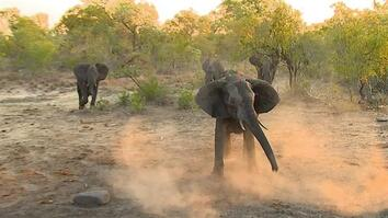 Elephants vs. Wild Dogs: Who Takes the Prize in This Water Battle?