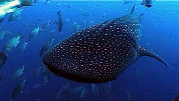 Whale Sharks' Unusual Feast