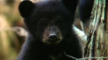Bear Bandits