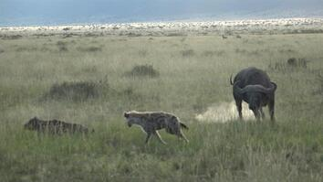 Hyenas Attack Buffalo Calf—Then the Battle Begins