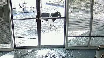 Goat 'Vandalizes' Local Business, Flees the Scene