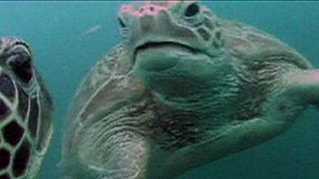 Turtle-Cam Shows Jellyfish Lunch