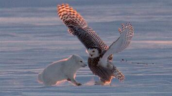 Why Is This Arctic Fox 'Dancing' With a Snowy Owl?