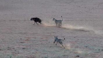 Tense Chase Follows as Hyena Trespasses on Lion Territory