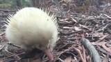 Rare Albino Echidna Spotted in Tasmania