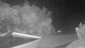 Rare Video: Cougar Pounces on Deer