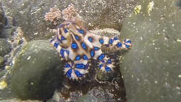 Brightly Colored Blue-Ringed Octopus is One of the Ocean's Deadliest