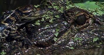 Animal Mothers: Newborn Gators