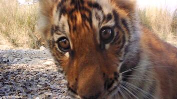 Tiger Population Sees Hopeful Rise in Nepal
