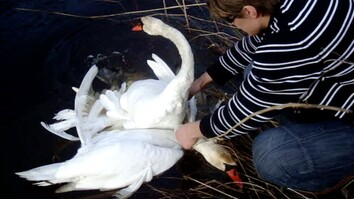 See Someone Save Entangled Swans