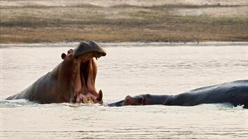 Destination Wild: Hippo Hierarchy