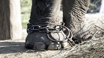 Unchaining Captive Elephants in Nepal