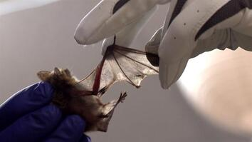 Special Bacteria Helps Heal Sick Bats