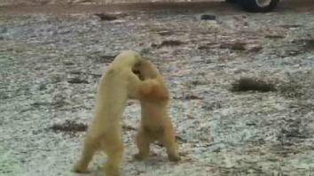 Polar Bear Cam: Fight
