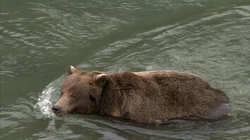 Bear Bait