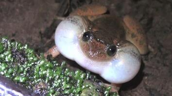 Froggy Style: New Sex Position Discovered Among Frogs and Toads