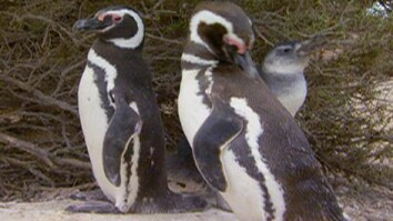 Penguins (Cutely) Count Selves