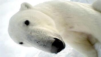 Polar Bear Eats Seal in First Ever POV Video