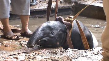 Tapir Breaks Out of Zoo, Gets Stuck in Palace Pond