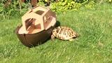 Why Timmy the Tortoise Attacks Everything in Sight