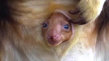 Watch Newborn Endangered Tree Kangaroo Poke its Head From Mother's Pouch