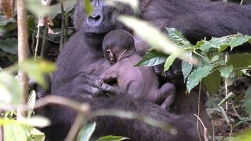 See Rare Video of Wild Gorilla Newborn Clinging to Its Mom