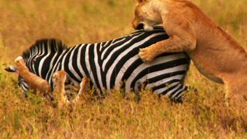 World's Deadliest: Lions vs. Zebra