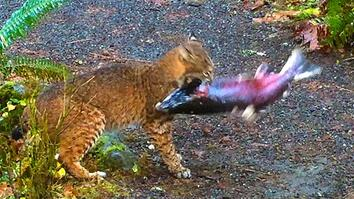 Bobcat vs. Salmon