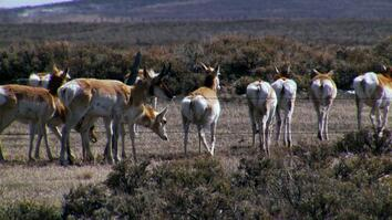 Clever Design Ensures Pronghorn Migration Survives in North America