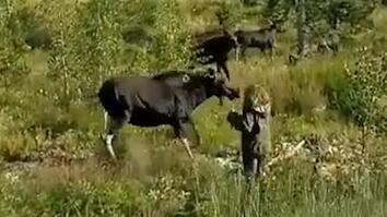 Watch An Angry Mama Moose Charge a Woman and Her Dog