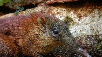 New Shrew Discovered