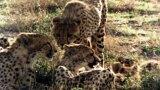 Lives of Cheetahs