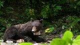 Crittercam®: Bear Cub