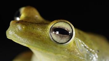 How the Gladiator Tree Frog Earned Its Name